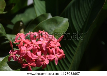 Daytime of Pink Ixora flower and blur green Leaves #1198033657