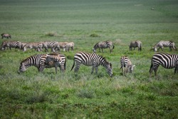 Dazzle of Zebras grazing on open plains
