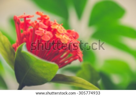De focused/Blurred image of Ixora chinensis. De focused/Blurred image of red flowers. Green leaves in the background. Vintage effect
