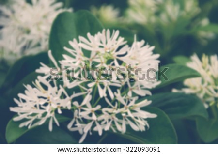 De focused/Blurred image of wild garlic. Little white flowers. Soft focus. Toned image. Flower background.