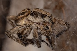 Dead Adult Wolf Spider of the Family Lycosidae