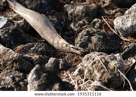 Dead alligator gar fish Atractosteus spatula lays across the rocks near a stream in Naples, Florida. Photo stock ©