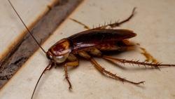 Dead American Cockroach of the species Periplaneta americana