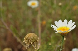 dead and alive daisies together