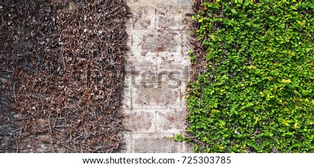 Dead and alive leaves on the same wall of park/Opposite life #725303785