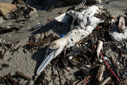 Dead and rotten bird on the beach due to plastic pollution in the sea. Global warming.
