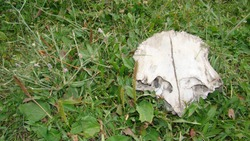 Dead animal Cow skull in the forest close up of dead cow closeup cow Carcass ; The dead body of an animal. animals, animal, wildlife, wild nature, forest, woods, garden