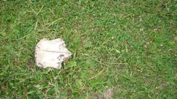 Dead animal Cow skull in the woods close up of dead cow closeup cow Carcass ; The dead body of an animal. animals, animal, wildlife, wild nature, forest, woods, garden