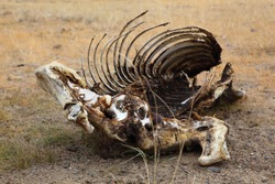 Dead animals in the arid steppe