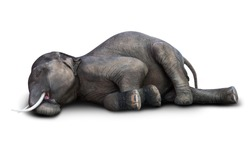 Dead Asian elephant isolated on white background with clipping path