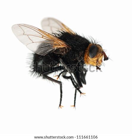 Dead bee closeup macro, over white