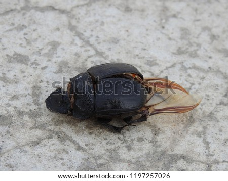 Dead Beetle exoskeleton(body) on Ground, big insect