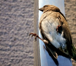 Dead Bird. Animal has No Life. Sparrow is Lying on Road.