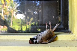Dead bird on a glass window. Bird hitting or crashing into house or building accident.