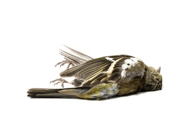 dead bird on white