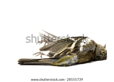 dead bird on white