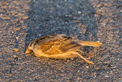 Dead bird. Road wars - death of a Sparrow. The killing of a bird. Death from the car. The terrible end of the chick.
