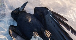 Dead black crow lying on white polyethylene. Environmental pollution concept.