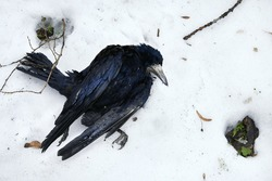 dead black crow on snow