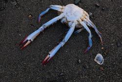 Dead blue crab on beach