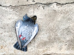 Dead body of pigeon laying on crack cement ground alone, concept of plague infected by bird pestilence, space for text and design