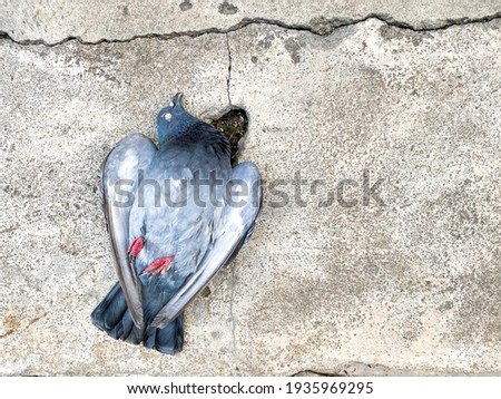 Dead body of pigeon laying on crack cement ground alone, concept of plague infected by bird pestilence, space for text and design Foto stock ©