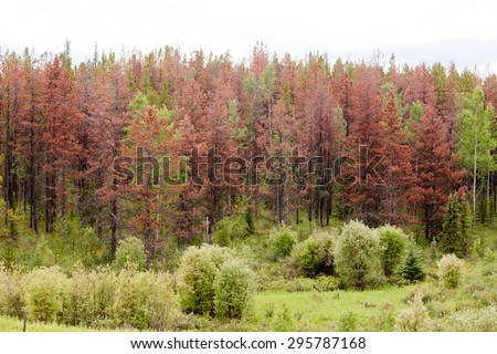 Dead brown pine trees killed by Mountain Pine Beetle (MPB), Dendroctonus ponderosae, forest insect blight epidemic outbreak