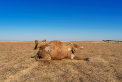 Dead camel in the steppe. Close-up. The corpse of a camel. Fragments of the corpse of a large animal. Wool on the corpse. Green flies on the corpse of an animal. Dry grass. Blue sky. Camel remains