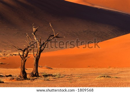 Dead camel thorn tree (Acacia erioloba) and dune, late afternoon, Sossusvlei, Namibia