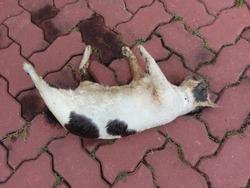 Dead cat on an asphalt road