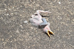 Dead Chick on concrete, featherless with beak open, abandoned baby bird dying in the sun