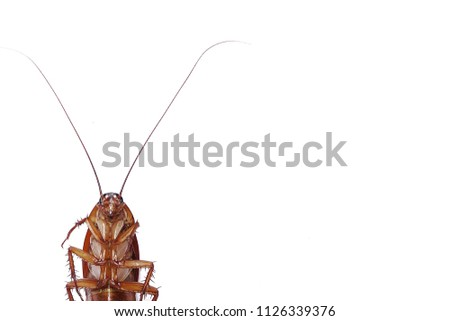 Dead Cockroach isolated on white background. Contagion the disease, Animal,Plague,Healthy,Home concept.Copy space empty blank for your advertisement design.