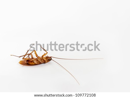 Dead cockroach lying on it's back. Isolated on white.