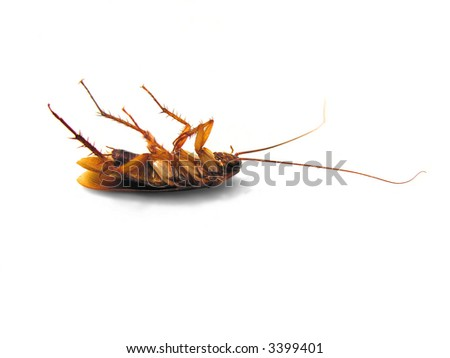 Dead Cockroach on his back - isolated on white Surface