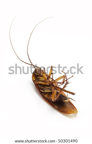 Dead cockroach with long feelers lying on white background