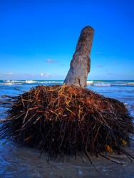 dead coconut tree on the beach, inclined trunk of dead palm tree beside the ocean, selective focus