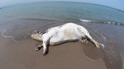 dead cow in the mediterranean beach, cows and environment, cow death problem, cows eating grass and weeds in pastures and green plains, beef, raising cows and pet farm animals