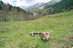 Dead cow skeleton in mountains landscape.Green meadow with animal bones in decomposing.