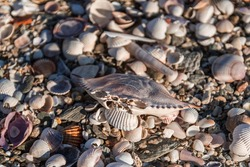 dead crab empty exoskeleton empty shell laying on top of dead seashells at the beach during winter in greece