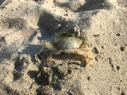 dead crap is on the sand in a sunny day at beach