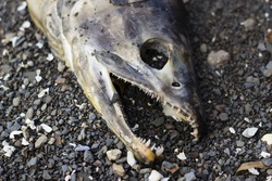 Dead, decaying salmon rotting on beach