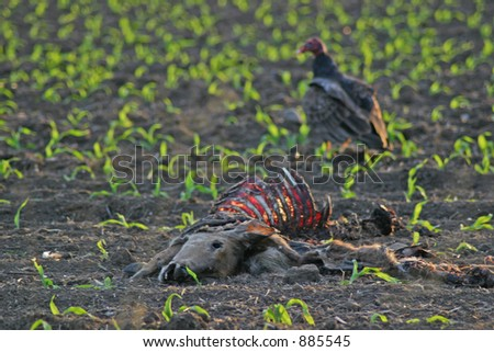 Dead deer in cornfield that has rotted, vulture in background. - stock ...