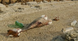 Dead dolphin. Ecological catastrophes become visible throughout the earth millions of marine animals die due to poisoning of plastic garbage and human waste due to an environmental disaster.