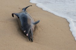 Dead dolphin fish at sandy beach, pollution