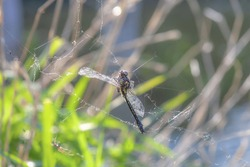 Dead dragonfly in spider web in sunny summer garden