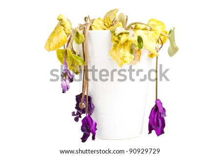 Dead dry flowers in a white pot isolated over white background