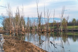 Dead dry tree trunks on an old pond or wetland