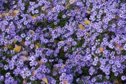 Dead fallen leaves and bright violet flowers of Michaelmas daisies in October