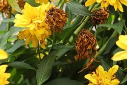 Dead false sunflower flowers between blooming heads