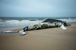 Dead Female Humpback Whale on Fire Island, Long Island, Beach, with Sand in Foreground and Atlantic Ocean in Background
